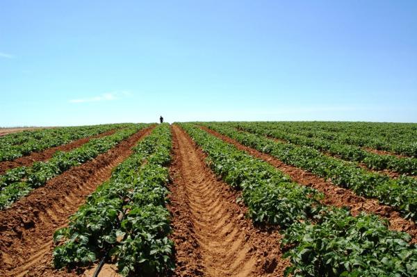 Капельный полив картофеля.  Двухрядная схема посадки картофеля на капельном орошении часто выбирается фермерами в...