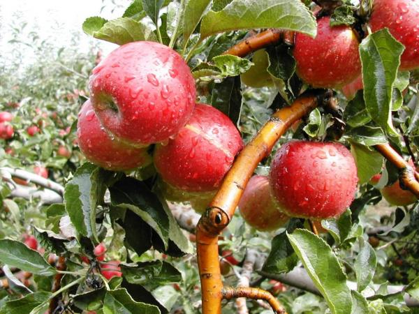 Урожайность в интенсивных садах в среднем 35-40 тонн с 1га