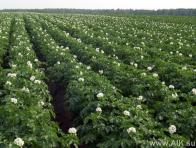 Капельный полив картофеля