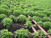 Магистраль и капельные линии на картофеле