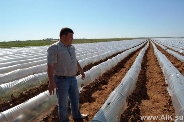 Капельное орошение томатов. Фермер Алексей Галкин (Астрахнаская область)