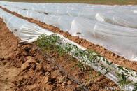 Капельное орошение томатов под пленкой