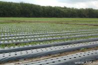 Первый год выращивания земляники на капельном поливе.